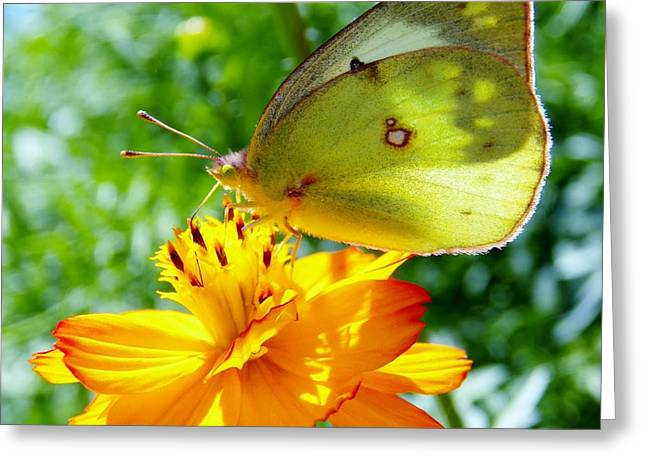 Judy Via-wolff Greeting Cards - Butterfly and Yellow Cosmo Flower Greeting Card by Judy Via-Wolff