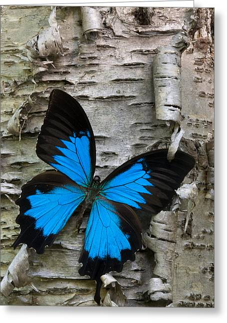 Birch Tree Greeting Cards - Butterfly Greeting Card by Andreas Freund