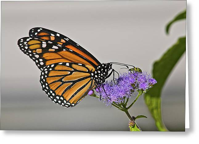 Mike Covington Greeting Cards - Butterfly Bug Inspector Greeting Card by Mike Covington