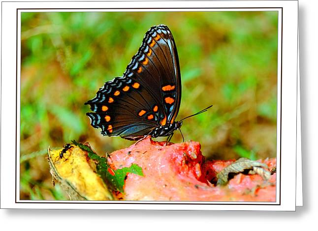 Watermelon Greeting Cards - Butterfly drinking from the Watermelon Greeting Card by Constance Lowery
