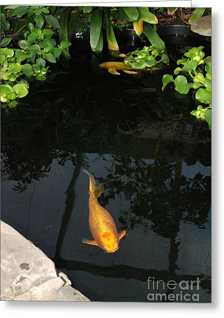 Butterfly Koi Greeting Cards - Butterfly Koi In Pond Greeting Card by John Kaprielian