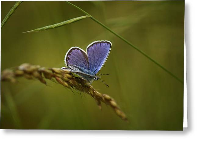 Field Greeting Cards - Butterfly on a spike Greeting Card by Samantha Mattiello