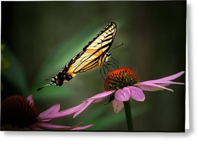 Garden Scene Greeting Cards - Butterfly on cone flower  Greeting Card by Gene Camarco