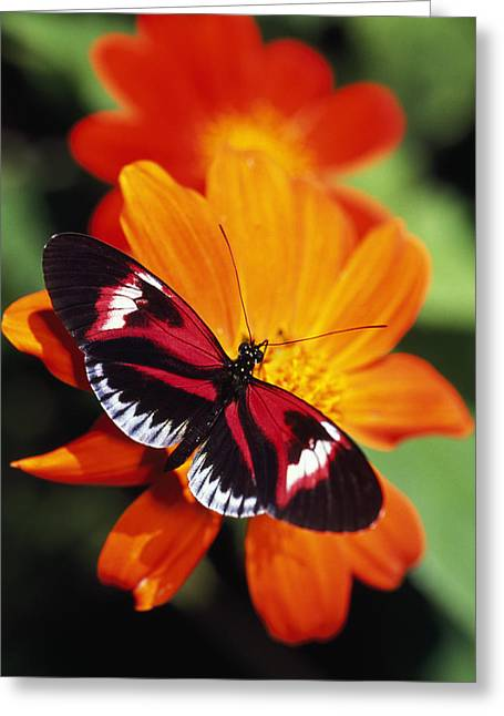 Lepidopterist Greeting Cards - Butterfly On Flower Greeting Card by Natural Selection Ralph Curtin
