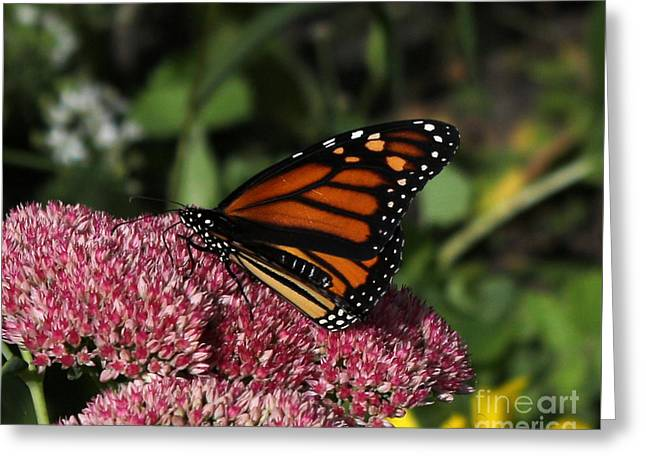 Butterfly On Sedum  Greeting Card by Lori Tordsen