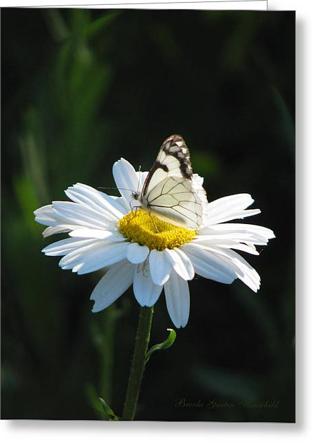 Sunlight On Flowers Greeting Cards - Butterfly on Shasta Daisy Greeting Card by Brooks Garten Hauschild