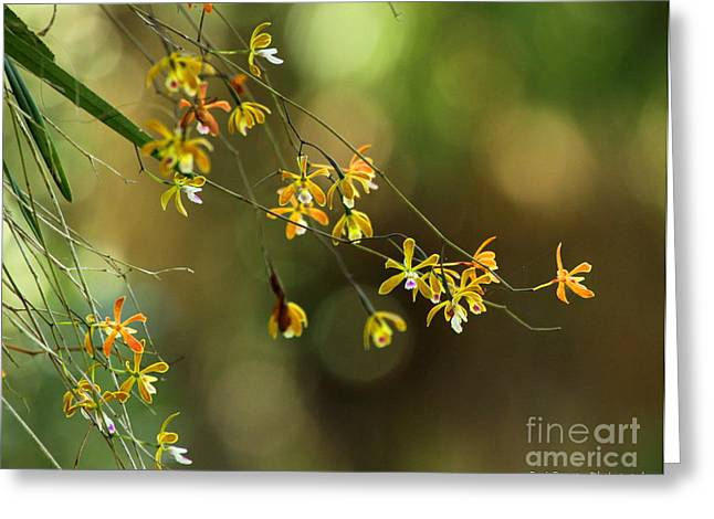 Pasco County Greeting Cards - Butterfly Orchid Greeting Card by Barbara Bowen