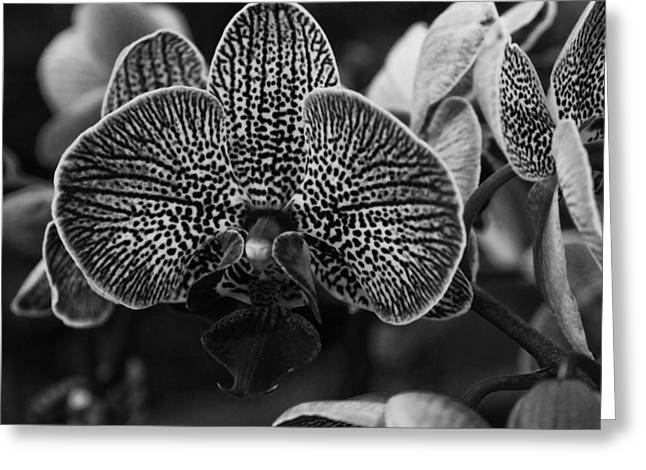 Falklands Greeting Cards - Butterfly Orchids in Black and White Greeting Card by Lee Chen Tou