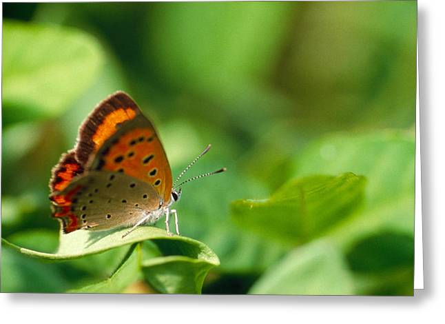 Arthropod Greeting Cards - Butterfly Perching On A Leaf Greeting Card by Panoramic Images