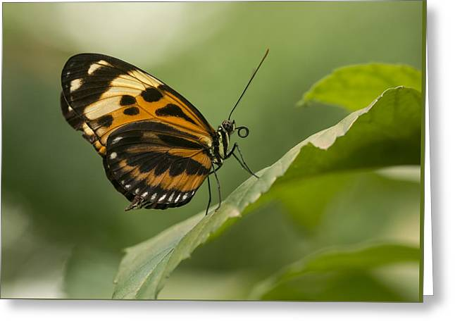 Invertebrates Greeting Cards - Butterfly resting on the leaf Greeting Card by Jaroslaw Blaminsky