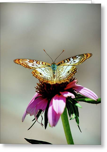 Photogaphy Greeting Cards - Butterfly Greeting Card by Skip Willits