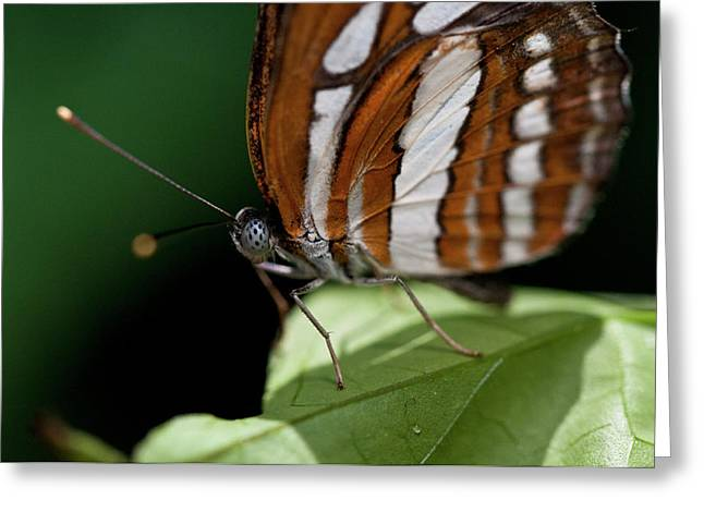 Butterfly Greeting Card by Wilma  Birdwell