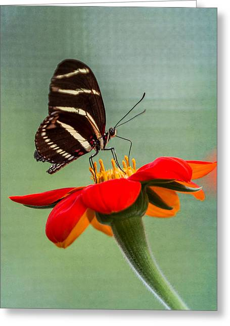 Invertebrates Greeting Cards - Butterfly Zebra Longwing on Zinnia Greeting Card by Patti Deters