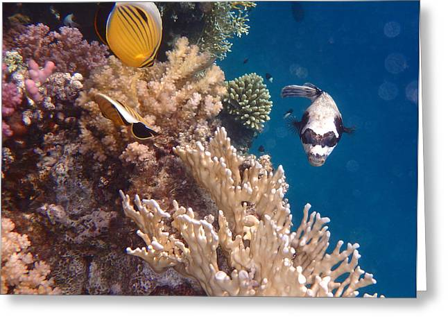 Underwater Photos Greeting Cards - Butterflyfish and Pufferfish Greeting Card by Johanna Hurmerinta