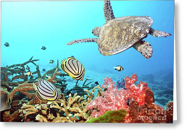Reef Fish Photographs Greeting Cards - Butterflyfishes and turtle Greeting Card by MotHaiBaPhoto Prints