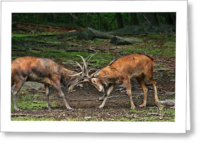 Zoology Greeting Cards - Butting Heads Greeting Card by Allen Beatty