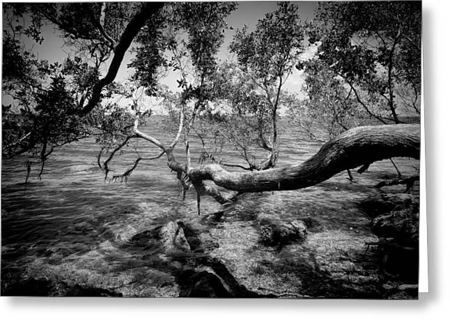 Buttonwood In Biscayne National Park Greeting Card by Rudy Umans