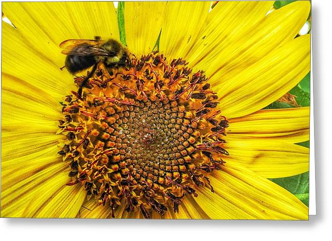 Jame Hayes Greeting Cards - Buzz Word-sunflower Greeting Card by Jame Hayes