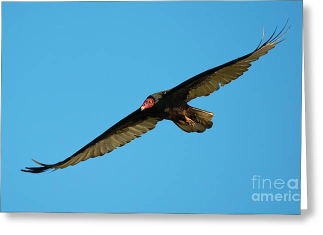 Buzzard Circling Greeting Card by Mike Dawson