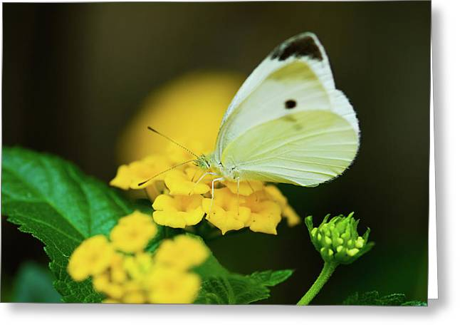 Cabbage White Butterfly Greeting Card by Betty LaRue
