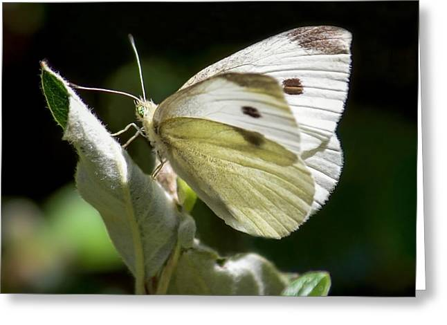 Cabbage White Butterfly Greeting Card by Brian Tada