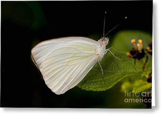 Cabbage White On A Leaf Greeting Card by Ruth Jolly