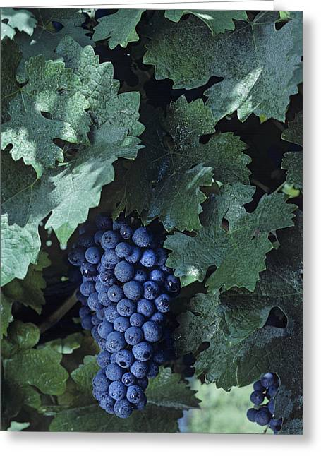 Cabernet Sauvignon Greeting Cards - Cabernet Sauvignon Grapes Greeting Card by Kenneth Garrett