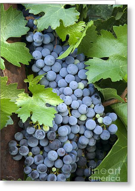 Cabernet Sauvignon Greeting Cards - Cabernet Sauvignon Wine Grapes Greeting Card by Inga Spence
