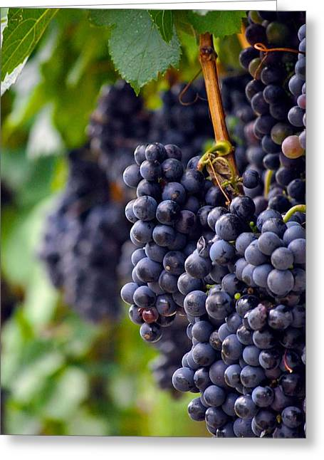 Grape Vineyard Greeting Cards - Cabernet Wine Grapes Greeting Card by Kristina Deane