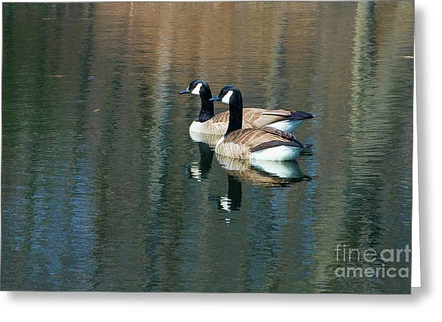 Cackle Greeting Cards - Cackling Geese Greeting Card by Edward Sobuta