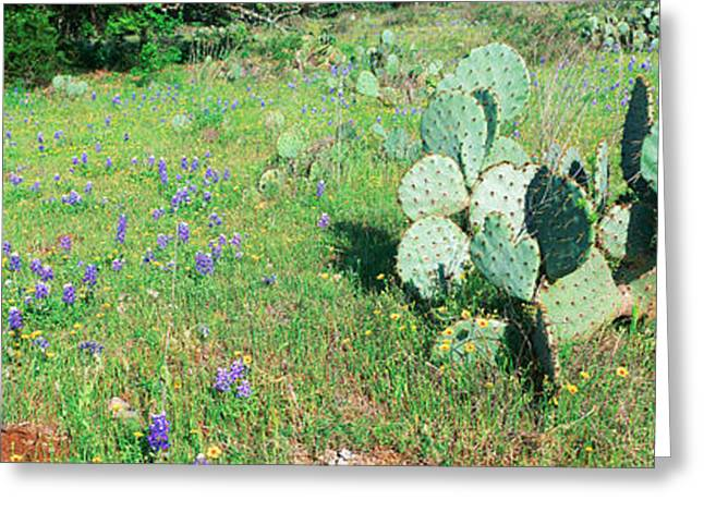 Panoramics Greeting Cards - Cacti And Wildflowers, Texas Greeting Card by Panoramic Images