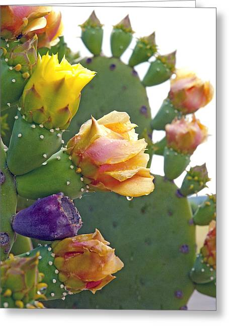 Prickly Greeting Cards - Cacti in Bloom Greeting Card by Robert Anschutz
