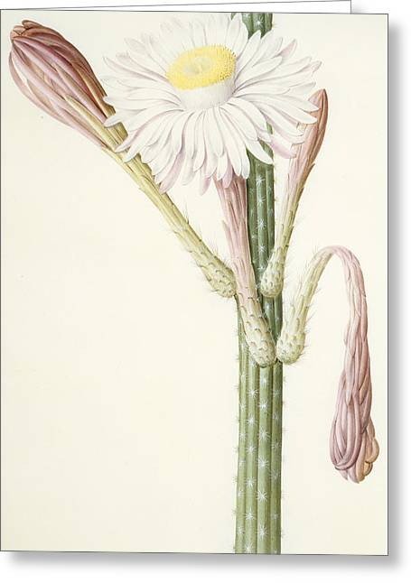 Cactus Ambiguus Greeting Card by Pierre Joseph Redoute