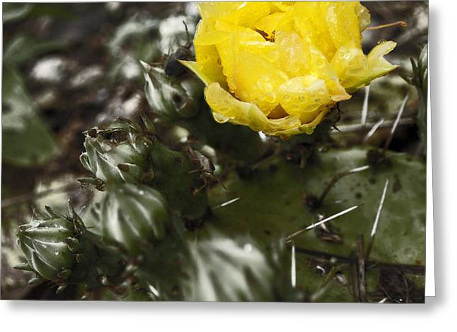 Cactus Bloom Greeting Card by James Granberry