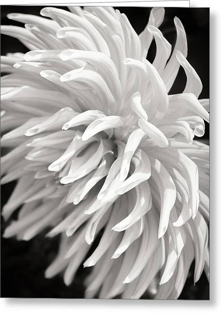 Cactus Dahlia Greeting Card by Wim Lanclus