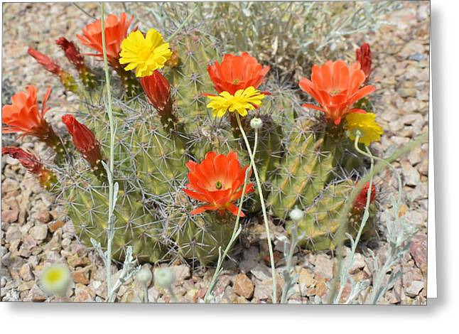 Botany Greeting Cards - Cactus Flowers Greeting Card by Aimee L Maher Photography and Art