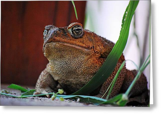 Cain Greeting Cards - Cain Toad Greeting Card by Robert Meanor