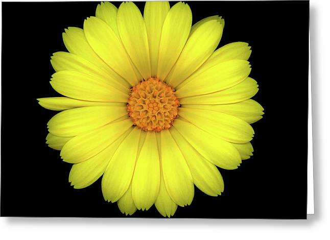 Calendula Five Greeting Card by Christopher Gruver