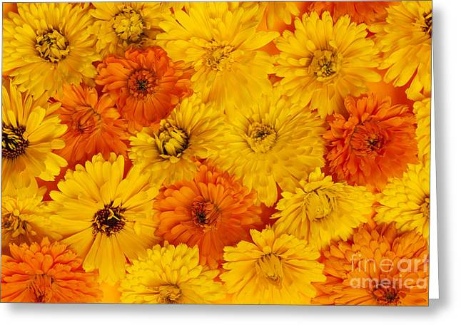 Marigold Greeting Cards - Calendula flowers Greeting Card by Elena Elisseeva