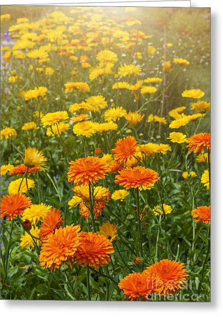 Marigold Greeting Cards - Calendula flowers in garden Greeting Card by Elena Elisseeva