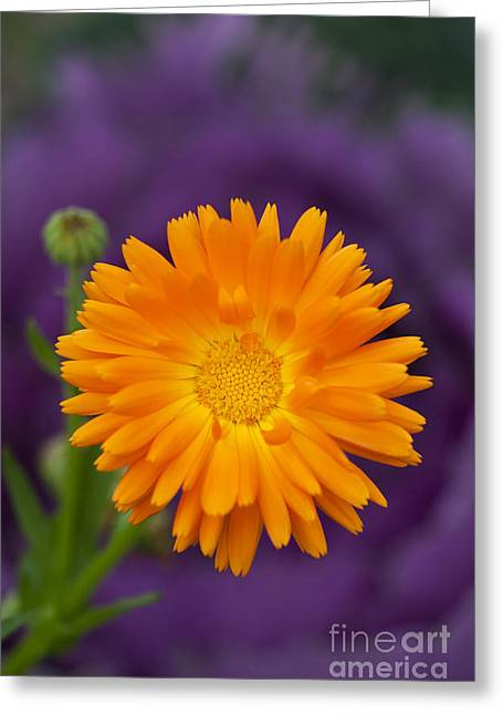 Medicinal Plant Greeting Cards - Calendula Greeting Card by Tim Gainey