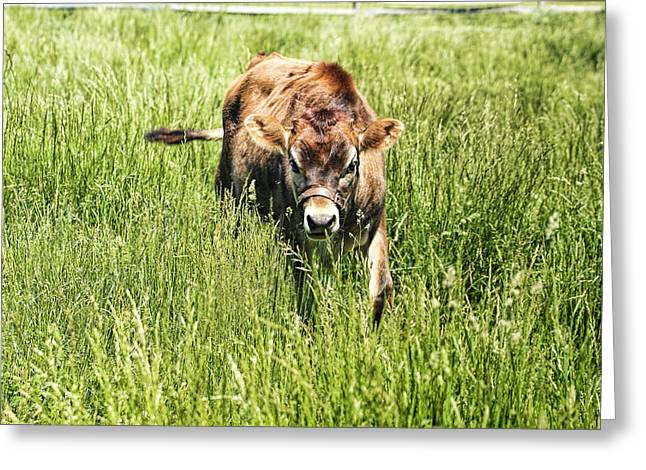 Greeting Cards - Calf Walking Through Pasture Greeting Card by Geraldine Scull