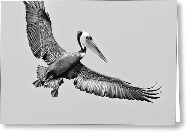 Water Fowl Greeting Cards - California Brown Pelican With Stretched Wings - black and white - monochrome Greeting Card by Ram Vasudev