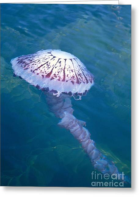 Medusa Greeting Cards - California Marine Life Greeting Card by Bill Schildge - Printscapes