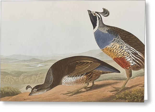 Californian Greeting Cards - California Partridge Greeting Card by John James Audubon