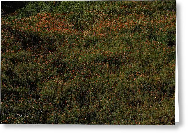 California Poppies Greeting Card by Garry Gay