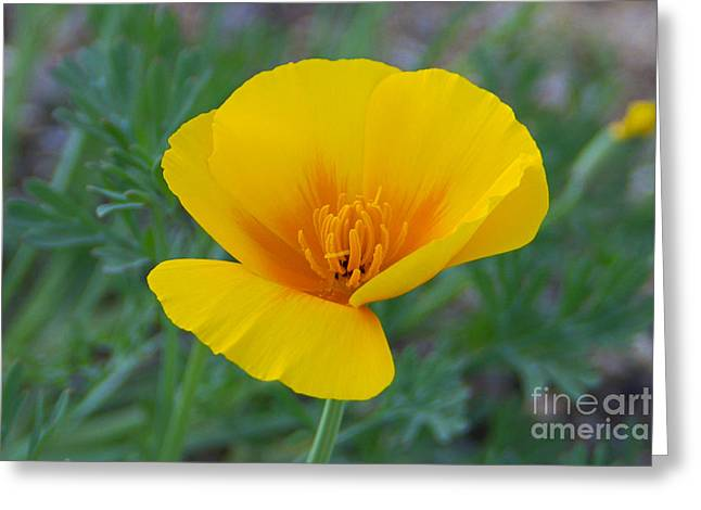 Californian Greeting Cards - California Poppy Greeting Card by Kelly Holm