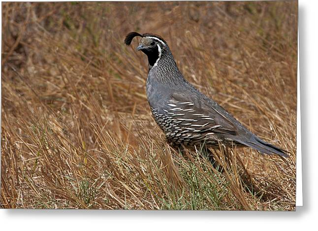 Game Greeting Cards - California Quail Greeting Card by Floyd Hopper