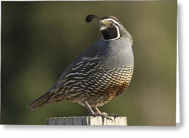Monterey Bay Image Greeting Cards - California Quail Male Santa Cruz Greeting Card by Sebastian Kennerknecht