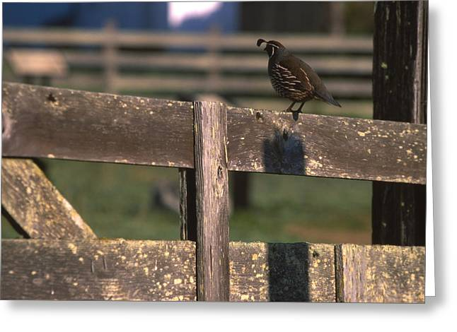 California Quail Greeting Cards - California Quail - Pierce Ranch Greeting Card by Soli Deo Gloria Wilderness And Wildlife Photography